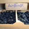 Blackberries Still Available!