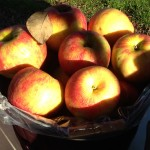 A Peck of Honeycrisp Apples