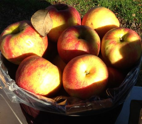 Mountain Grown Honey Crisp Apples