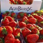 Strawberries at farmers markets